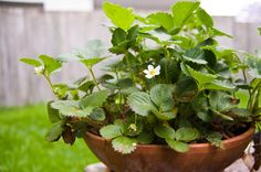 potted strawberry plant - Google Search