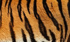 Researchers from King's College London have provided the first experimental evidence confirming a great British mathematician's theory of how biological patterns such as tiger stripes or leopard spots are formed.