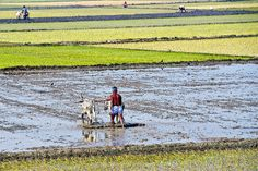 Various stages of rice paddy field by sammsky, via Flickr
