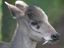 8 Tiere mit sehr ungewöhnlichen Zähnen: Tier 8: der Schopfhirsch