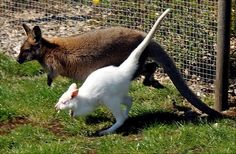 Wallabies, like their close kangaroo relatives, have long tails for balance and large feet and strong legs for jumping great distances.