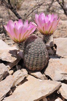 Echinocereus pectinatus subsp. wenigeri, USA, Texas, Terrell Co. More Pictures at: http://www.echinocereus.de