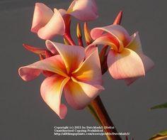 Plumeria (Plumeria rubra 'Henriette') uploaded by Dutchlady1