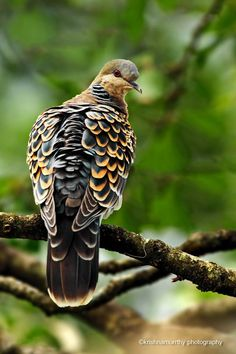 Turtle Dove in vivid colors, RESTING in Peace as it looks at the camera.