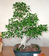 Ficus microcarpa ginseng Bonsai! | Bonsai | Pinterest | Bonsai baum ...