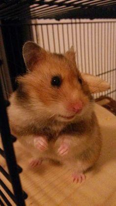 Penny - Goldhamster