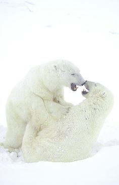 Polar bears in the snow ❤ notes A Snowy Nose Save The Polar Bears, Cute Polar Bear, Beautiful Creatures, Animals Beautiful, Cute Animals, Funny Animals, Love Bear, Alaskan Malamute, All Gods Creatures