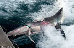 great white shark - Google Search