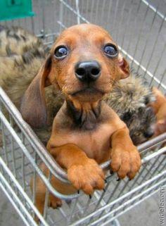 Petite saucisse d'amourr too cute! little baby dachshund