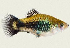 Platys are the best! 1 male to 2 females, please. Big Aquarium, Betta Aquarium, Tropical Fish Aquarium, Fish Aquariums, Aquarium Ideas, Platy Fish, Green Copper, Guppy, Beautiful Fish