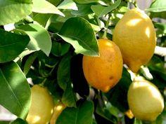 Taille et entretien des citronniers et agrumes Comment Planter, Horticulture, Lime, Health Fitness, Vegetables, Royal Lodge, Collage, Gardening, Deco