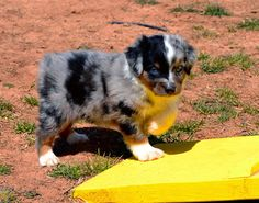 Quality Toy Australian Shepherd Puppies for Sale located in Utah. We have all four colors so if you are looking for a Red Merle, Blue Merle , Black Tri or Red Tri with or without blue eyes look at our website www.colorcountryaussies.com