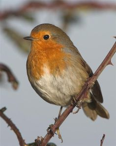 Robin (One of my visitors! Animal Spirit Guides, Spirit Animal, Robin Tattoo, European Robin, Robin Redbreast, Robin Bird, Beautiful Birds, Simply Beautiful, Winter Garden