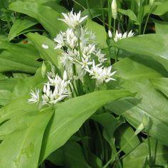 Ramsløg Allium ursinum