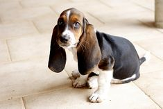 Basset Hound:  Who can resist this aristocratic French hound with the charming disposition?