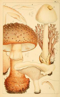 British edible fungi  London :K. Paul, Trench, Trbner,1891