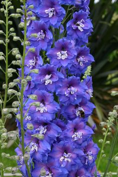 Gorgeous Bred By Dowdeswell S Delphiniums Ltd New Zealand