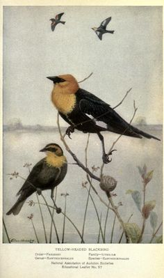 Yellow-headed blackbird, Portraits and Habits of Our Birds, Thomas Gilbert Pearson, 1920.