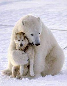 Polar bear hugs a wolf recently shot aerially in Alaska's Arctic