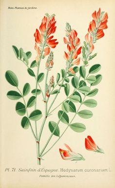 img/dessins plantes et fleurs jardins et appartements/dessin de fleur de jardin 0145 sainfoin d espagne - hedysarum coronarium.jpg
