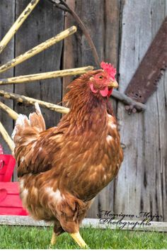 Comment acheter des poules pondeuses? - Poules en Ville
