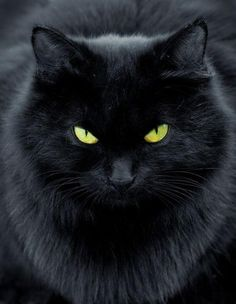 Gorgeous fluffy black cat!