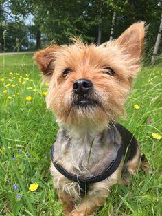 Chiki Yorkshire terrier | Pawshake