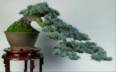 Blue Atlas Cedar Cascading Bonsai Source by nazaninziya . Terrarium Plants, Bonsai Plants, Bonsai Garden, Garden Trees, Bougainvillea Bonsai, Pine Bonsai, Juniper Bonsai, Blue Atlas Cedar, Flowering Succulents