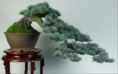 jim gremel....Blue Atlas Cedar Cascading Bonsai