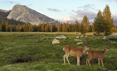 Wildlife abounds in Yosemite. Spotting peaceful deer is common, but bears and coyotes also make the park their home. (From: 15 Most Beautiful National Parks in America) Tuolumne Meadows, West Coast Road Trip, California Camping, Southern California, Yosemite National Park, Wildlife Photography, Wilderness, Mule Deer, Travel Deals