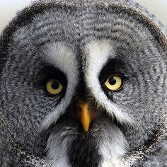 Grey Owl by Jacky Parker