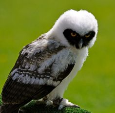 Spectacled Owl. A baby spectacled owl