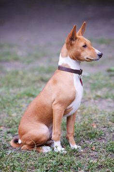 basenji - Basenji dog sitting in a dog park.