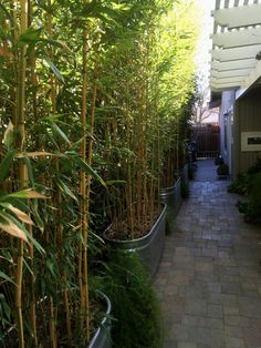 Planted in 2013, this hedge of the yellow groove bamboo, Phyllostachys aureosulcata spectabilis, has grown rapidly to make a tall narrow screen. The see-through effect is very graceful. This variety has green stripes on yellow culms. Courtesy photo