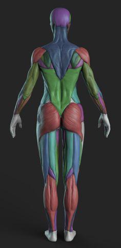 Zbrush Anatomy, 3d Anatomy, Anatomy Sketches, Body Sketches, Anatomy Study, Human Figure Drawing, Figure Drawing Reference, Body Reference, Anatomy Reference