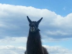 Carlos the king of McMillan Farms. Farms, Goats, King, Horses, Animals, Homesteads, Animales, Animaux, Animal