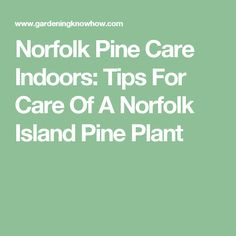 Norfolk Pine Care Indoors: Tips For Care Of A Norfolk Island Pine Plant