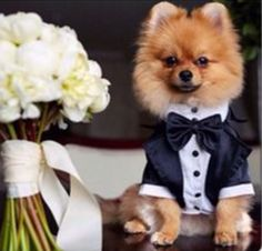 Male Pom in his wedding finery shot