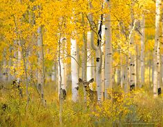 Mule deer standing in a grove of aspen trees in the fall.