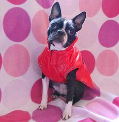 Waterproof Dog Coats, Boston Terrier, Snug, This Is Us, Autumn, Warm, Spring, Google, Dogs