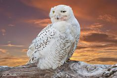 The Snowy Owl (Bubo Scandiacus) is an infrequent visitor to the Pacific Northwest.  Rare visitation, known as an irruption is caused by over-population in the owl's native range in the Arctic where they normally winter.  This juvenile owl was photographed in early winter at Damon Point near Ocean Shores, Washington State, USA.