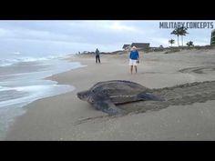 World's Largest Sea Turtle! Giant Leatherback Sea Turtle! - YouTube