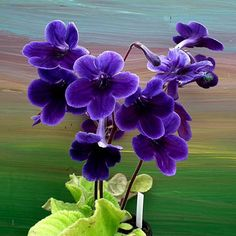 streptocarpus 39 harlequin sapphire 39 deep purple and bright white make for quite the contrast. Black Bedroom Furniture Sets. Home Design Ideas