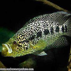 Managuense Cichlid or Jaguar Cichlid -(Parachromis managuensis)