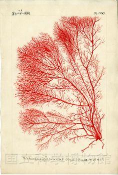 Icones of Japanese algae Vol. 3, No. 5 (1914), Pl. 121  Tichocarpus crinitus (Gmelin) Ruprecht