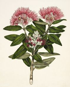 Antique plant Pohutukawa - Metrosideros Tomentosa drawn by Sarah Featon(1848 - 1927) | free image by rawpixel.com Tree Illustration, Christmas Illustration, Botanical Illustration, Image Fun, Free Image, Flower Catalogs, Shark Drawing, Watercolor Fish, Garden Of Earthly Delights