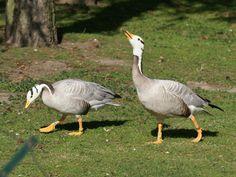 Bar Headed Goose pair