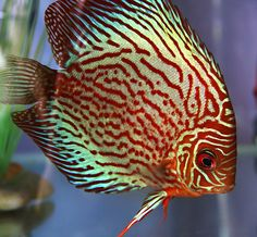 Discus fish in an aquarium ~by Wee Sen Goh on Flickr