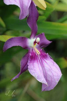 Bulbophyllum crassipes India