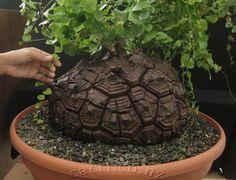 Image result for Dioscorea Tortoise Shell